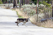 A gray wolf wearing a telemetry collar crosses a road.
