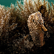 Seahorse underwater in the Bahamas