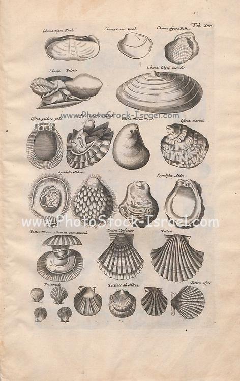 Sea shell Illustrations from 'Historiae Naturalis De Exanguibus Aquaticis  libri IV' (Natural History of Sea animals book 4) by Johannes Jonston. Published 1665.