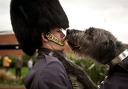 © Licensed to London News Pictures. 11/11/2015. LONDON.UK.<br /> Domnhall, is rewarded by is handler Drummer McNamara with a biscuit, after official Armistice Day parade duties in Hounslow,London.<br /> The Irish Wolf Hound is the regimental mascot of the 1st Battalion Irish Guards. Photo credit : Photo Andrew Baker/LNP