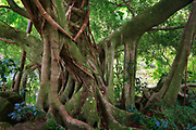 Banyan tree along the Pipiwai trail to Waimoku Fall in the Kipahulu area of Haleakala National Park in Maui, Hawaii