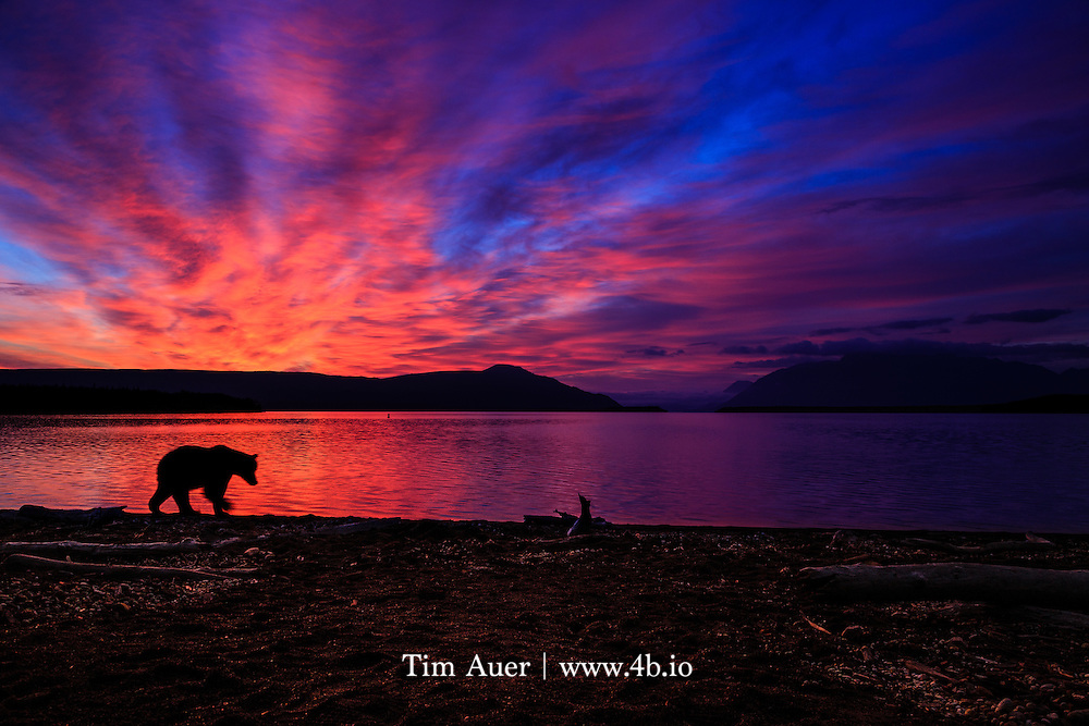 Sept 8 2013<br /> I was breaking camp at dawn on my last day in Katmai National Park, Alaska. From the look of the morning twilight and wispy cloud cover, I knew the day's sunrise would be spectacular. It was the first morning of the trip it wasn't cloudy or raining. When I set up my tripod and composed, it was still mostly dark out. As the light increased, I saw a large brown bear about 400 yards away on the beach, walking towards me. If the bear followed the shore all the way past me, I knew it would be the shot I have dreamed about; the quintessential Alaska photograph! As he approached, I quickly moved my gear back, without frightening him off or putting myself in danger. Crouching in the bushes and watching him, I recomposed and waited for the right moment. As the bear passed and I clicked, the sunrise colors were peaking in their vibrancy. Photographically, I underexposed the image to capture these colors, and make a silhouette of the bear. The shutter speed was slow enough to capture its forward motion with the blurry paw, but fast enough to freeze the identifying characteristics of a brown bear- muzzle, ear, hump. In the foreground the beach is strewn with sun bleached driftwood reflecting some of the pink light, and in the background the low lying clouds in the Iliuk Arm of Naknek Lake still hold onto their shadows. Even more than Yellowstone and Yosemite, Katmai is my favorite national park to visit, and this photograph precisely captures the reason why.