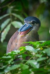 Boat-billed Heron, Ecocentro Danaus Biological Reserve, Costa Rica.