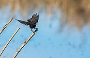 Black Phoebe, Sayornis nigricans