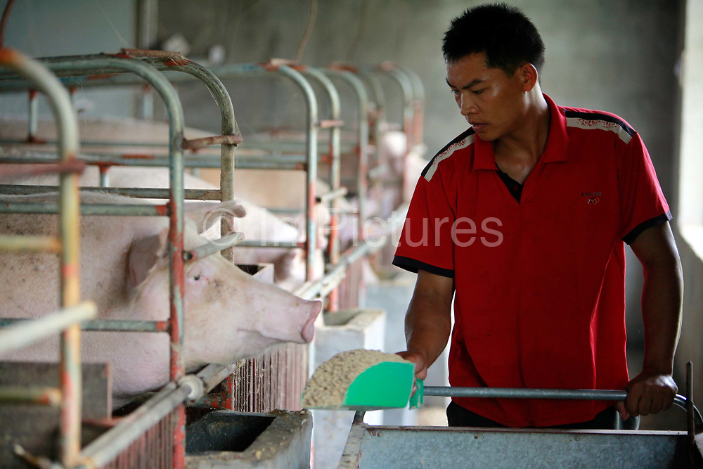 """A hired help feed sows who recently gave birth to a new litter at the Grand Canal Pig Farm in Jiaxing, Zhejiang Province, China on 04 August, 2011.  Pork is by far the most popular meat eaten in China, with its value deeply ingrained in the mind of the Chinese people. The importance of pork in the Chinese diet and the role of prices in affecting social stability are demonstrated by the establishment in 2007 by the central government of a """"strategic pork reserve"""", the only one of its kind in the world."""