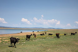cattle by a lake in New Mexico