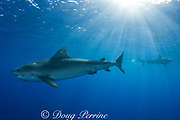 tiger sharks ( Galeocerdo cuvier ) North Shore, Oahu, Hawaii, USA ( Central Pacific Ocean ) (de)