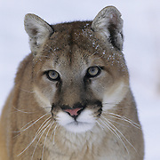 Mountain Lion (Felis concolor) adult in the Rocky Mountains during the winter. Captive Animal