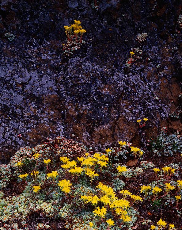 Stonecrop wildflowers (Sedum spathulifolium), summer fog, Olympic National Park, Washington, USA