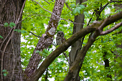1 May 2010: a Barred owl shows itself near dusk east of Bloomington, near Moraine View State Park. (Photo by Alan Look)