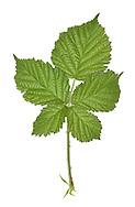 Bramble - Rubus fruticosus