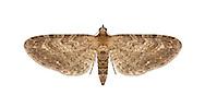 70.186 (1841)<br /> Yarrow Pug - Eupithecia millefoliata