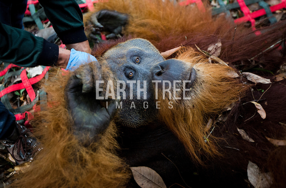 Friday, a large male orangutan is relocated to a health block of forest after his home forest was converted to palm oil. Photo: Paul Hilton for OIC