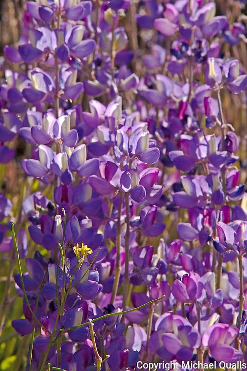 A field of purple lupine with a single yellow blossom.  Big Pine Creek.  California.  USA.