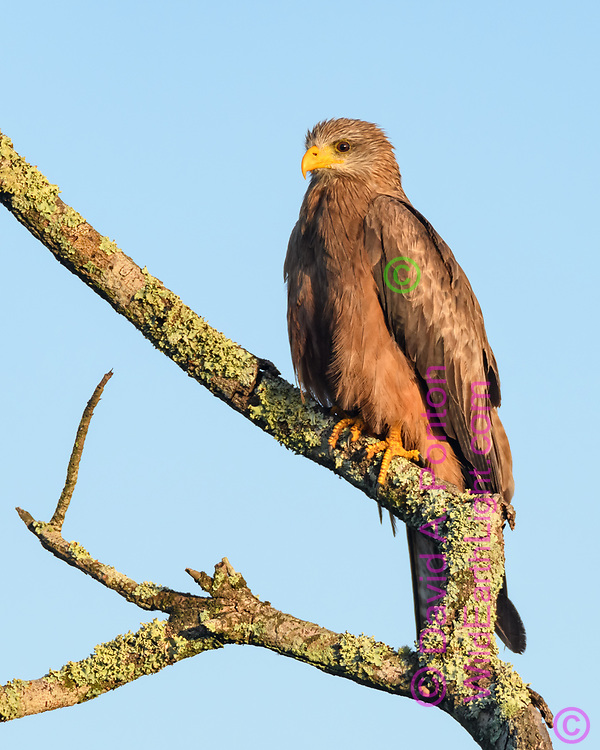 Yellow-billed kite perched on dead tree branch with lichen, Phinda Game Reserve, South Africa, © David A. Ponton