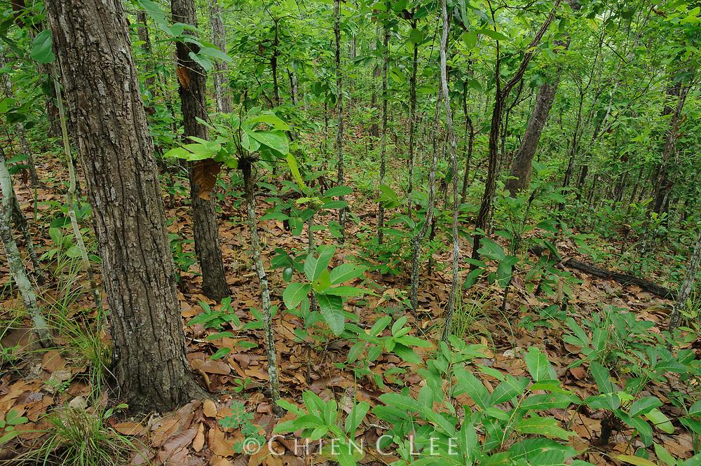 Mixed Deciduous Forest during the beginning of the rainy season in Huai Kha Khaeng Wildlife Sanctuary.
