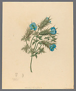 Acanthus carduifolia [Blepharis sinuata] from a collection of ' Drawings of plants collected at Cape Town ' by Clemenz Heinrich, Wehdemann, 1762-1835 Collected and drawn in the Cape Colony, South Africa