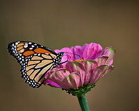 Monarch Butterfly on a Pink Flower. Autumn Backyard Nature in New Jersey. Image taken with a Nikon D810a camera and 300 mm f/4 lens (ISO 220, 300 mm, f/5.6, 1/320 sec)