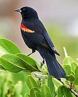 Red-winged Blackbird (Agelaius phoeniceus). Black Point Wildlife Drive. Merritt Island National Wildlife Refuge. Image taken with a Nikon D3s camera and 200-400 mm f/4 VR lens.