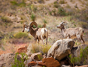 Bighorn sheep along the Colorado River in the interior of the Grand Canyon