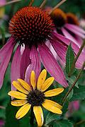 Purple Coneflower & Black-eyed Susan - Wisconsin