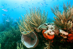 coral reef, Looe Key, Florida Keys National Marine Sanctuary, Florida, Atlantic Ocean