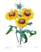 19th-century hand painted Engraving illustration of a yellow Gaillardia (common name blanket flower) flower, by Pierre-Joseph Redoute. Published in Choix Des Plus Belles Fleurs, Paris (1827). by Redouté, Pierre Joseph, 1759-1840.; Chapuis, Jean Baptiste.; Ernest Panckoucke.; Langois, Dr.; Bessin, R.; Victor, fl. ca. 1820-1850.