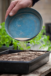 Sowing fine seeds indoors by mixing with sand and sprinkling onto a seed tray. Nicotiana sylvestris
