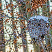 This is something I was fortunate to come across in winter.  It looks like there might have been a lot of wasps living here in the summer.  I was taken by the symmetry of the hive as it both blends into the tree yet stands out.  The snow on top and the dead leaves around it are wonderful accents.