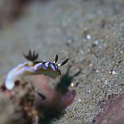 Glossodoris atromarginata nudibranch projecting a shadow that looks like a rabbit. Ambon, Indonesia
