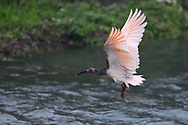 Crested Ibis, Nipponia nippon, in breeding colours, flying over water in Yangxian Biosphere Reserve, Shaanxi, China