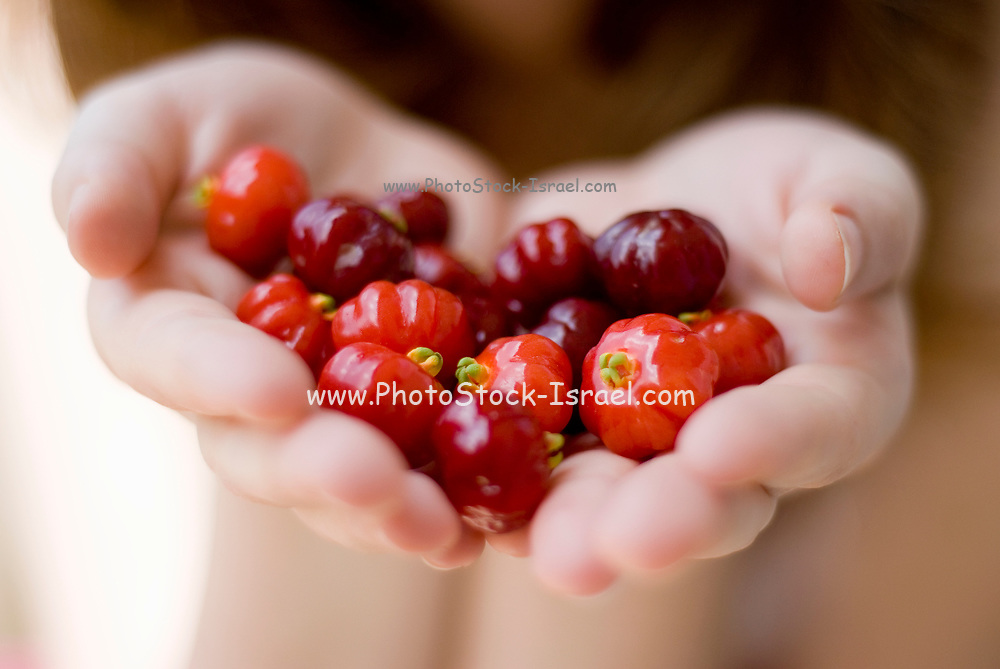 two Hands offering the viewer a handful of the ripe fruit of Surinam Cherry, (Eugenia uniflora with common names Pitanga, Suriname cherry, Brazilian cherry, Cayenne cherry)