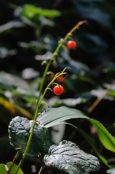 Lelietje-van-dalen, Convallaria majalis
