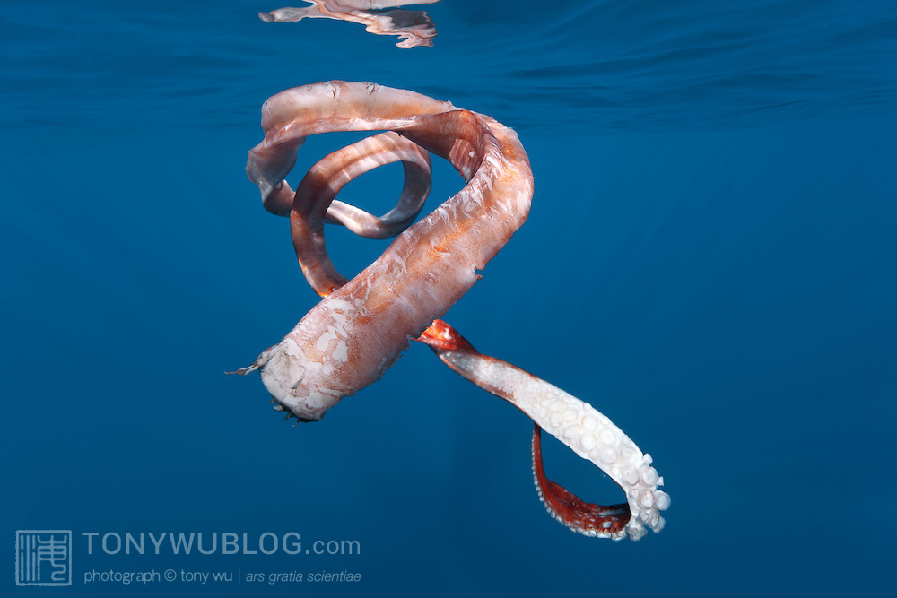 Segment of an Architeuthis giant squid feeding tentacle (tentacular arm) that was left in the water by a sperm whale (Physeter macrocephalus) after it breached. This squid arm fragment measured 351 centimeters. Note the suction cups, which are lined with finely serrated teeth made of chitin, which help the squid grab and hold prey.