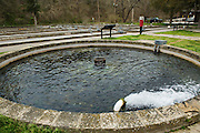 Trout swim in circles as the water rushes through this round cistern at the trout hatchery at Roaring River State Park.