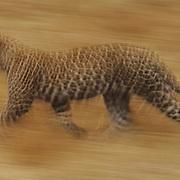 Leopard (Panthera pardus) running. Masai Mara National Reserve, Kenya, Africa