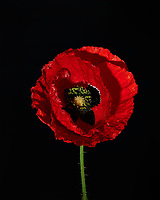 Red Poppy Flower. Backyard spring nature in New Jersey. Focus stacked composite of 15 mages taken with a Nikon Df camera and 105 mm f/2.8 VR macro lens and SB-910 flash (ISO, 105 mm, f/4, 1/60 sec). Images processed with Capture One and Helicon Focus (depth map, radius 8, smoothing 4)