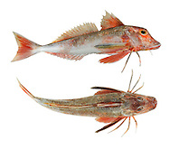 Red Gurnard Aspitrigla cuculus Length to 30cm<br /> Stunning fish. Favours sandy and mixed substrates; found in inshore waters in summer. Adult has large head and eyes; sloping forehead has more concave profile than Grey Gurnard. Pectoral fins extend beyond vent lowest 3 rays lack webbing and are tactile. Lateral line is not spiny. Overall red, grading to pinkish white on belly. Locally common in S and W; scarce or absent from E coasts.