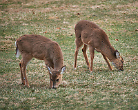 Young Backyard Deer. Image taken with a Nikon Df camera and 300 mm f/4 lens (ISO 450, 300 mm, f/4, 1/320 sec).