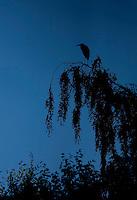 Grey heron (Ardea cinerea) silhouetted at dusk Kangasala, Finland.