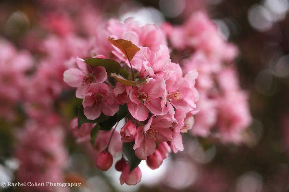 """Pink Crabapple Blossoms"""