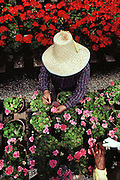 Hand pollinating geranium flowers in a greenhouse: Lompoc, California. USA.