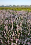 California Mustard, Carrizo Plain National Monument, California