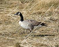 Canada Goose (Branta canadensis). Walden Reservoir. Walden, Colorado. Image taken with a Nikon D2xs camera and 200-400 mm f/4 VR lens.