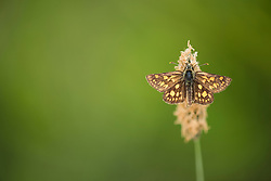 Chequered skipper butterfly Carterocephalus palaemon, adult female basking on a plant, part of the Back from the Brink project to reintroduce this species to England, Northamptonshire, May