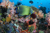 Angelfish and Soft Corals abound in color<br /> <br /> Shot in Indonesia