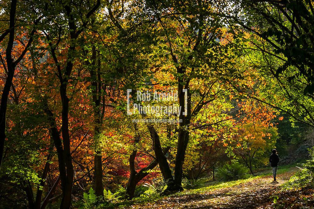 A lady walking through autumnal trees at Winkworth Arboretum in Surrey