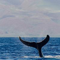 Humpback Whale, Megaptera novaeangliae, Tail Wave 5 of 8, Maui Hawaii