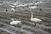 A Tundra Swan stands at alert while its mate rests