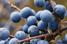 Sleedoorn, sloe, Prunus spinosa